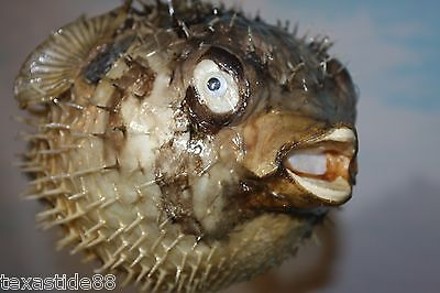 "(1)pc,8"",SEAFOOD RESTAURANT DECOR, PORCUPINE FISH, PRESERVED PORCUPINE FISH"