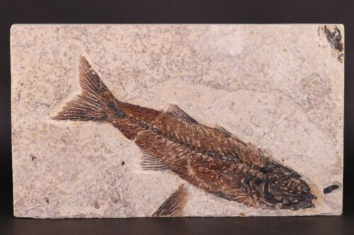 """SUPERB Fossil Fish 5.6"""" Mioplosus Green River Formation Wyoming WY COA"""