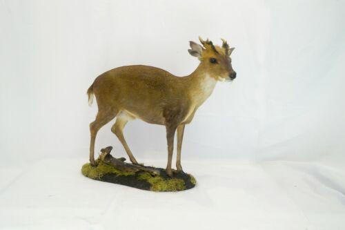 Professinal animal Taxidermy muntjac by Trophy Collection ( Vasyl Danchevskiy)