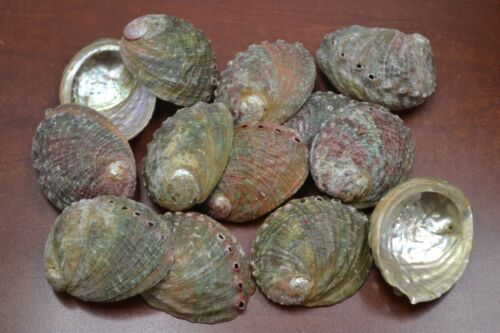 """100 PCS NATURAL GREEN ABALONE SEA SHELL (ONE SIDE POLISHED) 2 1/2"""" - 3"""" #7116C"""