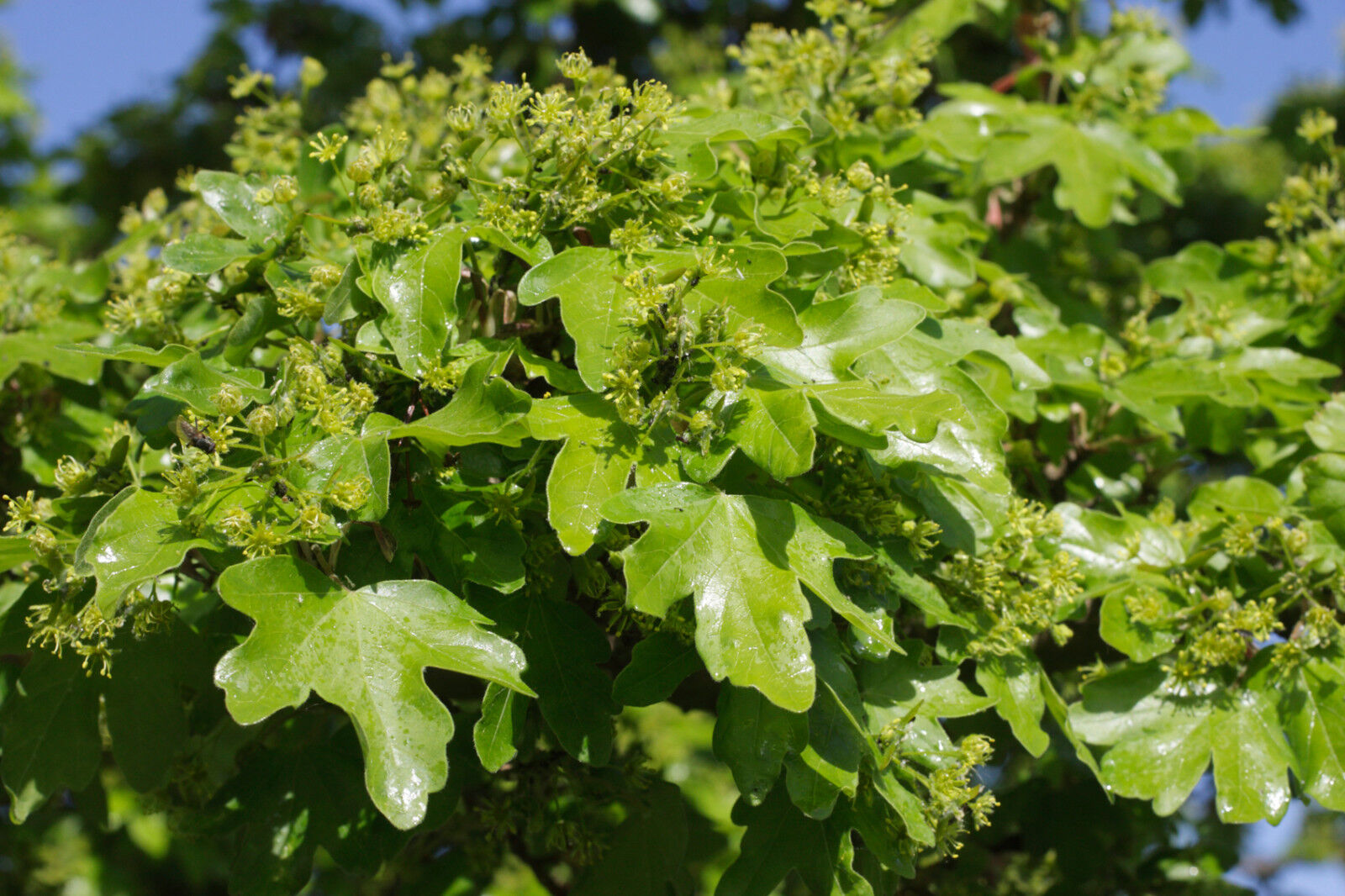 10 Field Maple Hedging Native Trees Acer Campestre 2 3ft Plants