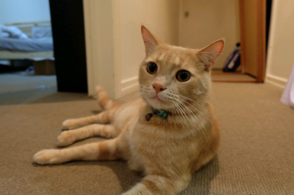 Wanted: LOST GINGER CAT: WHISKEY