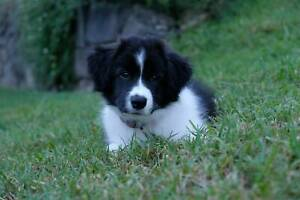 Purebred Border Collie Puppies (ANKC Registered)