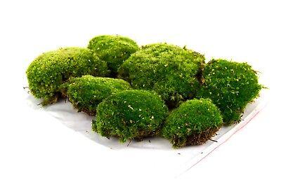 Echtes Moos kaufen Frühjahr Deko Frühlingsdekoration Kugelmoos Naturmoos Moss