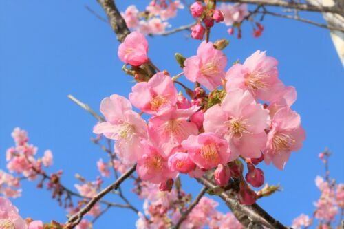 Image Digital Photo Cherry Blossoms Japan Tokyo Pink JPG file Material #056
