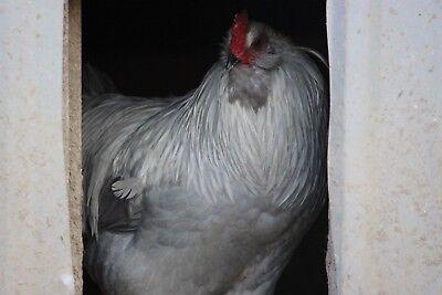6 Fertile Lf Lavender Blue And Splash Ameraucana Hatching Eggs