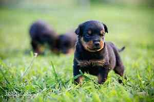Rottweiler (german) puppies - 4 females left!!! Minyama Maroochydore Area Preview