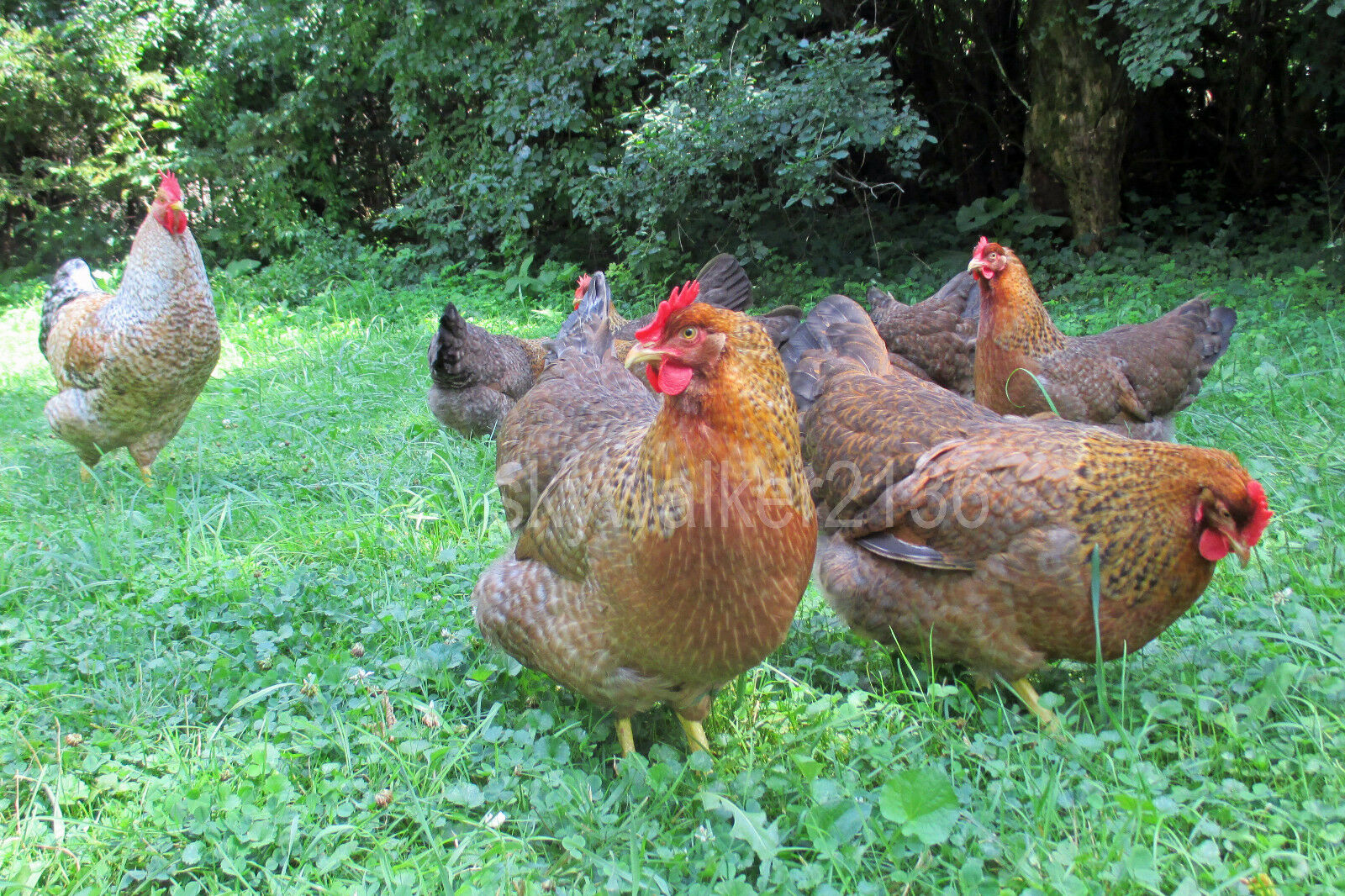 10 Bielefelder Fertile Hatching Eggs. Flock Is From 2011 13 Import Bloodline - $9.99