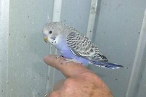 Budgies - from babies to mature Bedford Bayswater Area Preview