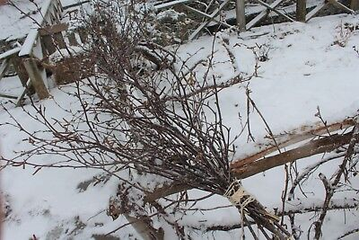 Birch Branches 125 Branches 1 Ft   2 Ft Branches   Free Shipping