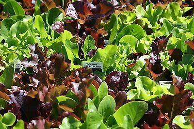 Lettuce Heirloom GOURMET BLEND 10 Varieties BULK 12000 SEEDS (1/2oz) MicroGreens