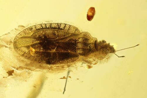 Very Nice Rare Tingidae Lace Bug with Egg! Fossil insect Baltic amber #10090