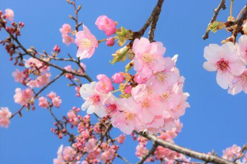 Image Digital Photo Cherry Blossoms Japan Tokyo Pink JPG file Material #055