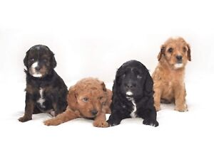 Adorable Cavoodle Puppies