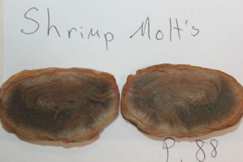 Mazon Creek Fossil Animal Shrimp Molt Molts Lot X42