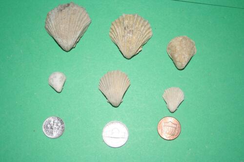 6 assorted Neithea pecten oyster shells from Texas Cretaceous