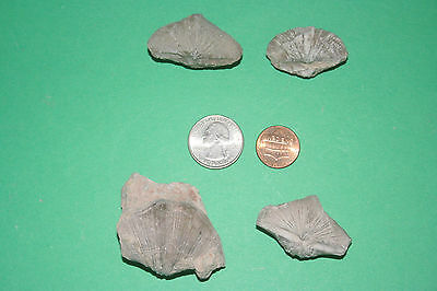 4 Neospirifer brachiopods from Texas...Pennsylvanian period