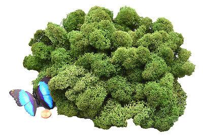 Islandmoos 1AV 100g Tannengrün vorgereinigt präpariert weich basteln floral Deko