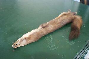 Huge big Marten pelt tanned nice skin hide wild fur from Wyoming Wind River Mtn