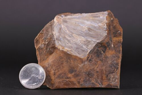Fossil Ginkgo plant leaf & More on Back Paleocene North Dakota COA 3761