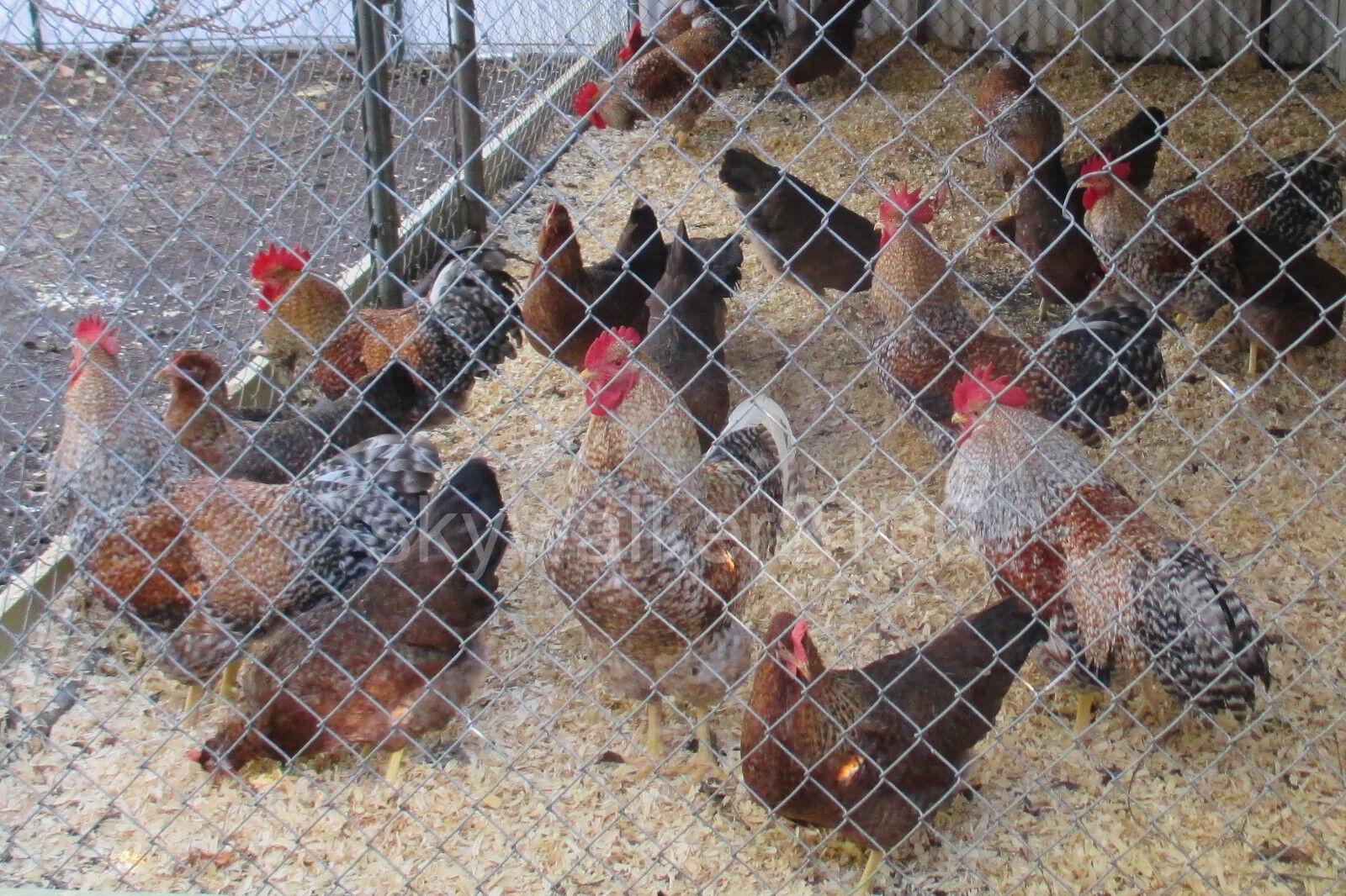 10 Bielefelder Fertile Hatching Eggs. Flock Is From 2011 13 Import Bloodline - $9.99