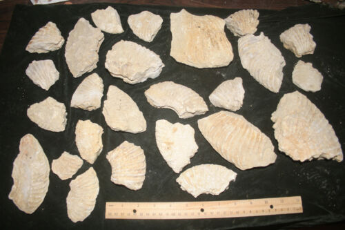 about 13 pounds of Ammonite partials from Texas   Cretaceous period