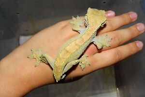 2012 male crested gecko London Ontario image 2