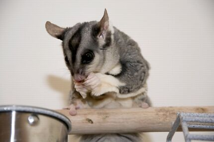 Single Male Squirrel Glider : sold pending pickup  Parafield Gardens Salisbury Area Preview
