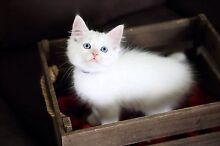 Rescued Cats and kittens Cessnock Cessnock Area Preview