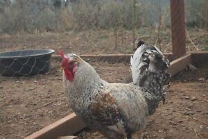 12 Crested Cream Legbar Hatching Eggs 100% GFF Jill Rees Line NPIP AI clean