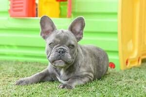 Lilac Female (carry Tan) French Bulldog