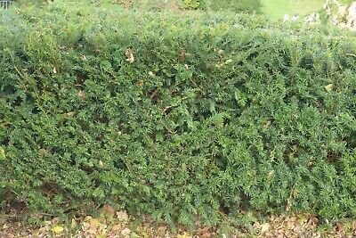 30 X 15-20cms YEW HEDGING, TAXUS EVERGREEN P9 POTs
