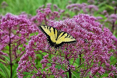 joe pye weed PINK flower, ATTRACTS BUTTERFLIES, 120 seeds! GroCo* buy US USA (Joe Weed)