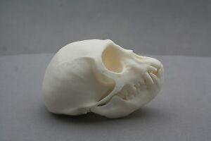 Monkey Animal Skull Replica Taxidermy Study Unusual Ornament Gift Idea