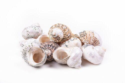 "Mexican Turbo Sea Shell Beach Craft Hermit Crab 1 1/2"" - 2 1/2"" (10 PCS )#JC-34"