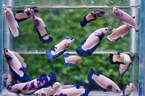 Live Betta Fish High Quality Halfmoon Plakat  FEMALE Blue Marble Dragon