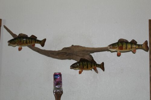 Trio Yellow Perch Pan Fish Mount Real Skin Taxidermy Wildlife Wall Mount Crappie