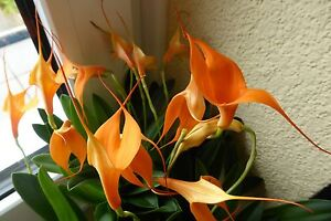Orchidee *Masdevallia *blüht orange farbig - Zimmerpflanze Jungpflanze