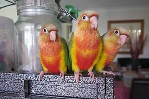 GORGEOUS GREEN CHEEK CONURES - Hand Raised - Tame Quakers Hill Blacktown Area Preview