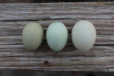 6 Ameraucana Hatching Eggs Beautiful