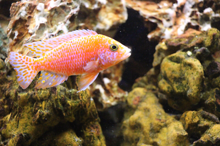 Pure Malawi Cichlids Fish cheap,colourful,FREE DELIVERY!!!!