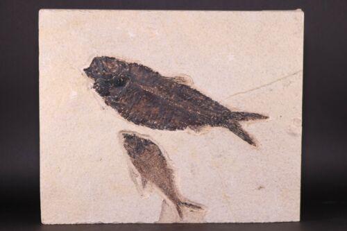 Fossil Fish Knightia & Diplomystus Green River Formation Wyoming WY COA 10524