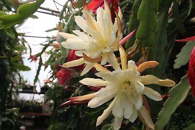 """Epiphyllum Blattkakteen Epicactus /""""Maienfeuer/"""" Steckling"""