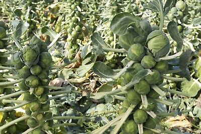 Brussel Sprouts  Long Island Improved  Non Gmo  Variety Sizes  Free Shipping