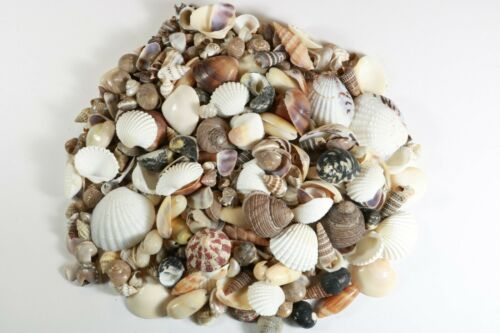 400+ Small Mixed Seashells, Assorted Craft Shells Mix US Seller Free Ship!