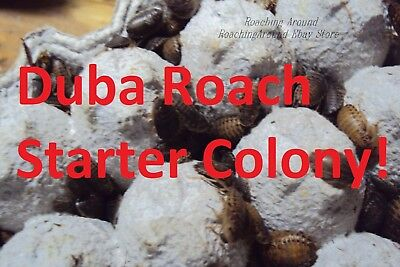 100+Dubia Roaches Starter Colony.Adults Nymphs.Free Buffalo Beetles.Crickets alt