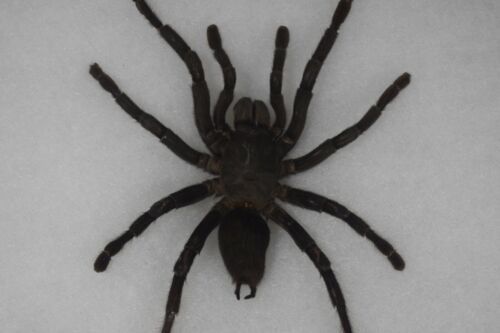 Tarantula Spider Mounted Specimen Haplopelma minax Huge Specimen