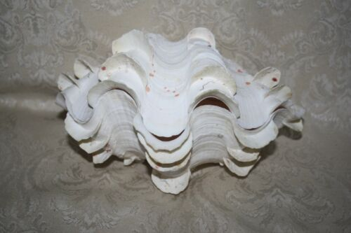 """Matching PAIR of 8.75"""" Tridacna Gigas? Natural LARGE CLAM SHELL- Ocean Specimen"""