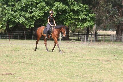 Adult/experienced dressage/eventing prospect  Darling Downs Serpentine Area Preview