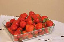 Strawberry runners Mount Lawley Stirling Area Preview